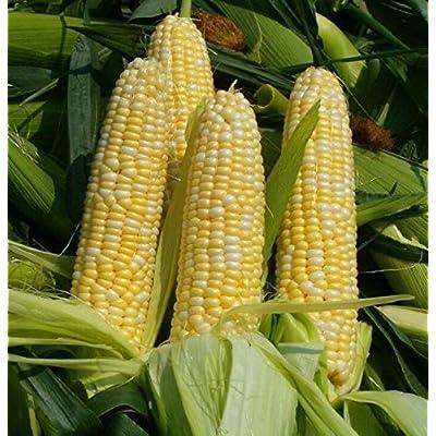 Weardear 100PCS Sweet Corn Seeds Home Garden Organic Corn Seeds : Garden & Outdoor