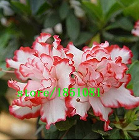 Amazon Com Big Sale Rare Bonsai 12 Varieties Azalea Seeds Diy