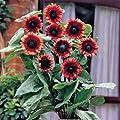 Park Seed Cherry Rose Sunflower Seeds