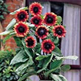 Amazon.com : Hens & Chicks 200 Seeds - Semperviven