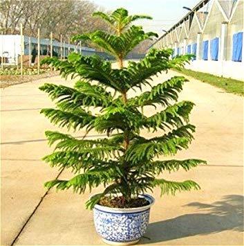 Lila 50 Partikel eine Tasche Araucaria Samen Mini Baum Bonsai Fichte Samen selten sch/öne Pa Samen Evergreen Pflanze Baum Haus Garten Topf ASTONISH Erstaunen SEEDS