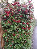 Seeds PACAKGE ONLY NOT Plants: Cotoneaster Lacteus - y Hedging Seeds in cm Seed Quote for Quantity