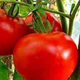 buy NIKITOVKASeeds - Tomato Maxim - 200 Seeds - Organically Grown - Non GMO now, new 2020-2019 bestseller, review and Photo, best price $5.54