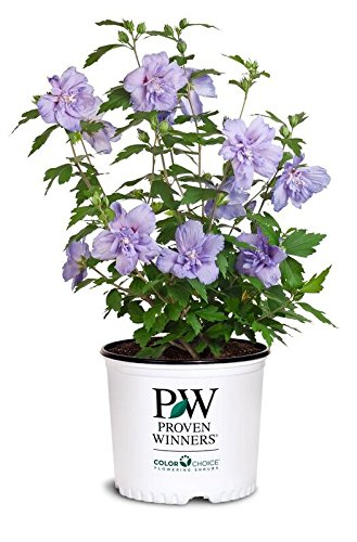 Proven Winners - Hibiscus syriacus Blue Chiffon (Rose of Sharon) Shrub, double lavender flowers, #3 - Size Container by Green Promise Farms