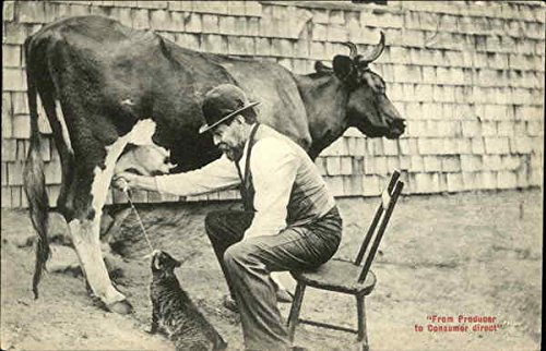 Man milking Cow into Cat's Mouth Cows & Cattle Original Vintage - Postcard Cow