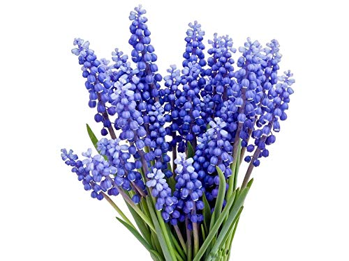 15 Grape Hyacinth - Muscari Armeniacum - Bulb Top Size 9-10 cm - Spring ()