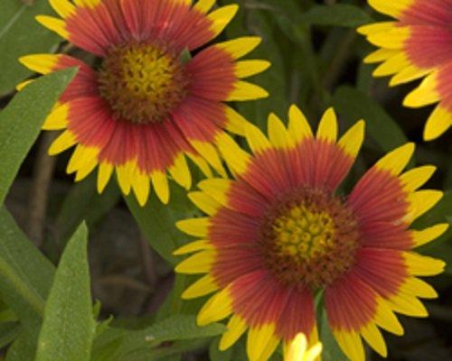 David's Garden Seeds Flower Native Texas Indian Blanket SL5115 (Multi) 500 Non-GMO, Heirloom Seeds