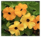 shade perennials zone 7 Black Eyed Susan Vine - 200+ Seeds - Tender Perennial Zones 6-10
