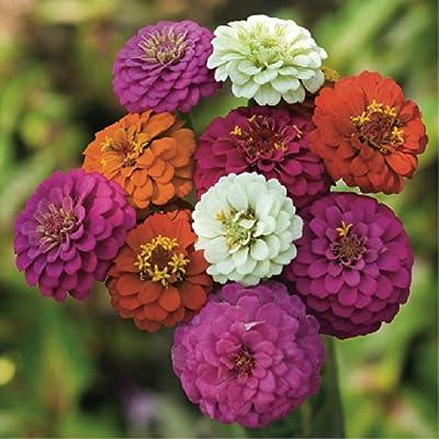 Zinnia 'Thumbelina Mix' (Zinnia Elegans Dahlienflora) Flower Plant Seeds, Annual Heirloom : Garden & Outdoor