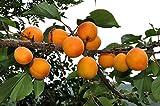 Apricot, Prunus armeniaca, 5 Tree Seeds (Fast, Showy, Hardy)