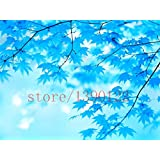 Brend New 20 bonsai blue maple tree seeds Bonsai tree seeds. rare sky blue japanese maple seeds Balcony plants for home garden