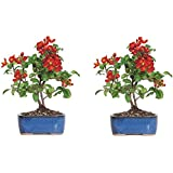 Brussel's Japanese Red Quince Bonsai - Medium - (Outdoor) - Not Sold in California or Arizona (2-(Pack))