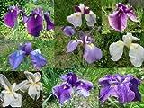 Japanese Iris Ensata Perennial