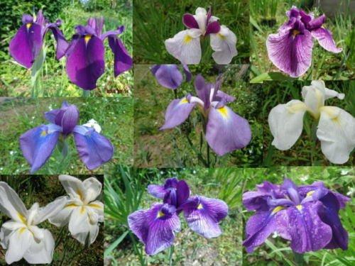 - Japanese Iris Ensata Perennial Seeds