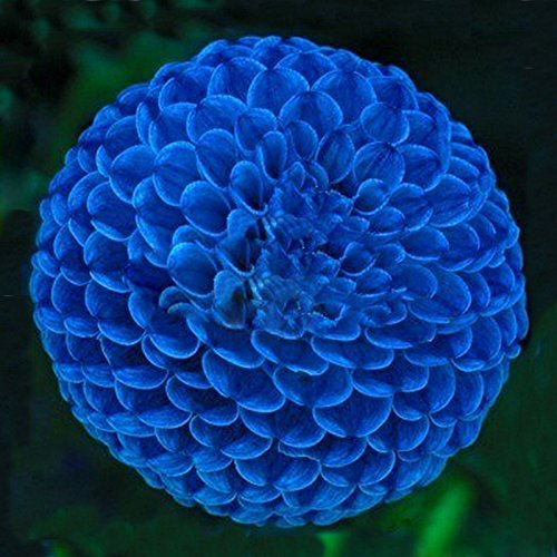 Hot Sale Unique Blue Fireball Dahlia Seeds Beautiful Flower Seeds Perennial Plant Dahlia Seeds - 100 PCS (Perennials Blue Flowers)