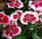 Cutdek 40+ Chinese Pink Merry-Go-Round Flower Seeds/Dianthus Chinensis/Annual