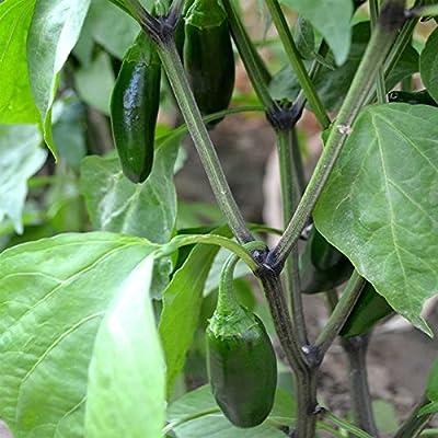 Jalapeno Hot Pepper Garden Seeds - Non-GMO, Heirloom, Organic Vegetable Gardening Seed
