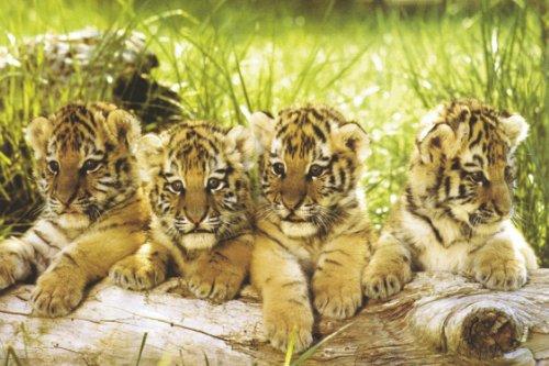 Studio B 4 Tiger Cubs Poster