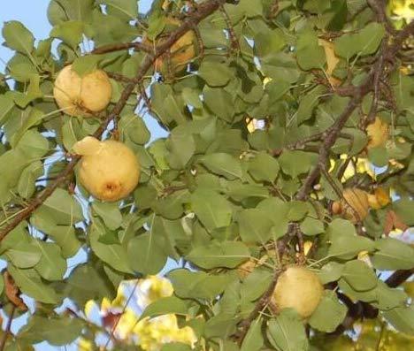 Fresh Cuttings of Bartlett Pear Trees Get 10 Fresh Cuttings #ADN01YN