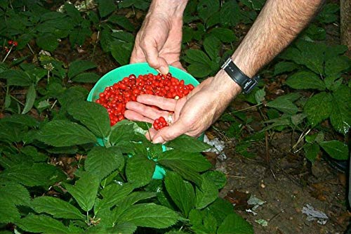 Yunakesa Chinese Ginseng - Panax Ginseng Seeds, No Scarification Required- Ready to Plant - Top Quality- Grow Your own ! (100 Seeds) by yunakesa