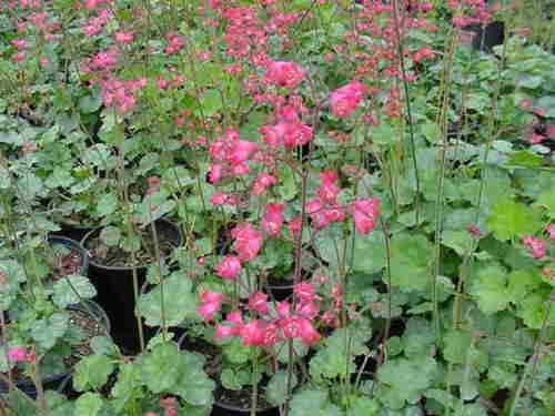 Heuchera Hybrid (Flower Seed: Heuchera Bressingham Hybrids Cora Bells 40 Seeds Fresh Seed)