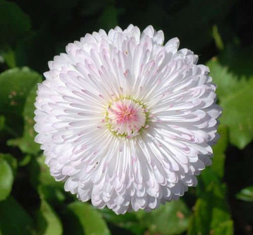 500 DWARF WHITE ENGLISH DAISY Bellis Perennis Seeds