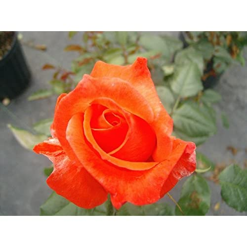 Best Living Easy Rose Bush Organic Rose Potted Live Plant | Orange Flowers Livin  Easy Plant