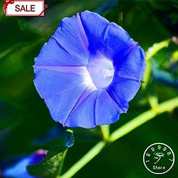 Ricinus Communis ampliamente cultivada Semillas 300pcs, Usos medicinales semillas de ricino aceite vegetal a base