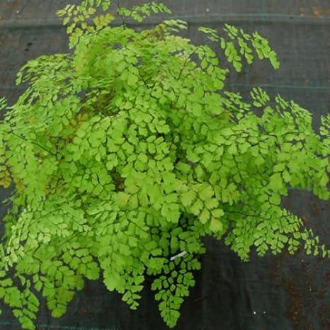 amazon com fragrant maidenhair fern adiantum raddianum