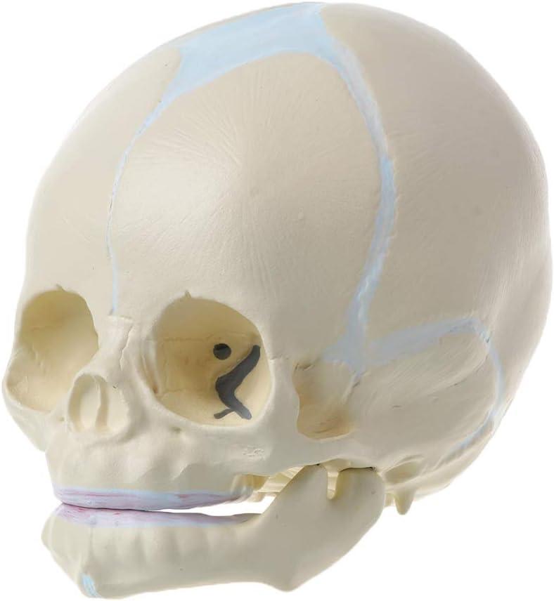 Yiwann 1: 1 modelo de esqueleto anatómico para bebé con forma de calavera médica para el cuidado del feto, suministros de enseñanza para la herramienta de aprendizaje de ciencias médicas