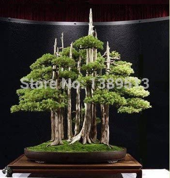50 Bag Wacholder Bonsai Baum Topfblumen Bro Bonsai Reinigen Die Luft Absorbieren Schdliche Gase Samen Nur Amazon Co Uk Kitchen Home