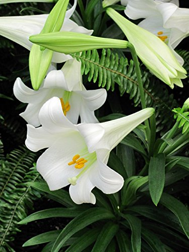 Grow Easter Lily (Easter Lily, Nellie White (3 Bulbs) Suitable for Easter forcing,Lilium Longiflorum)