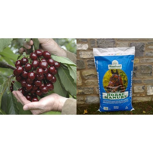 Stella Cherry Bare Root Trees (Pair) Yougarden
