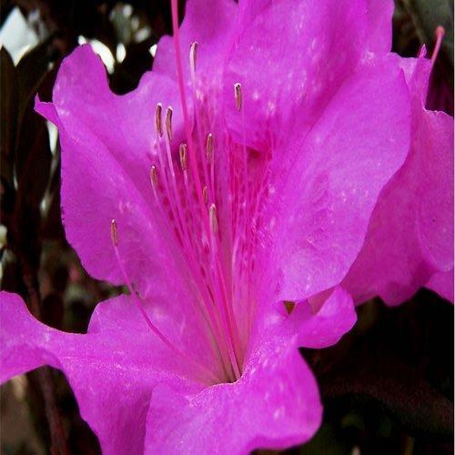 Encore Autumn Royalty Azalea Shrub Plants