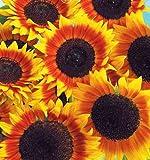 20 Seeds Japan Sunflower Helianthus Annuus Flower Seeds ~1 Pack 20 Seeds~