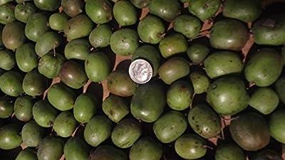 100+ Rare sweet fruit HARDY KIWI seeds,ACTINIDIA,Wisconsin+instructions included