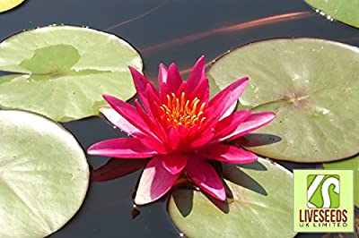 Liveseeds - 5 Blooming RED LOTUS (Sacred Water Lily / Lily Pad / Asian Water Lotus) Flower Seeds