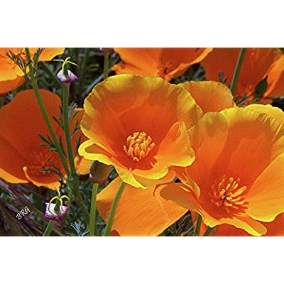 Orange California Poppy Seeds, 1 Oz, 20, 000 Seeds by Seeds2Go : Garden & Outdoor