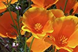 Orange California Poppy Seeds, 8 Oz, 150,000 Seeds by Seeds2Go