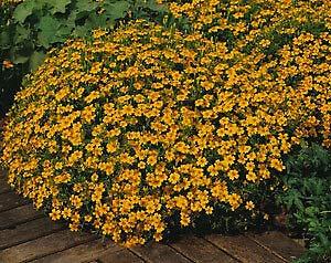 (Marigold-French Signet Tangerine Gem 5,000 Seeds)