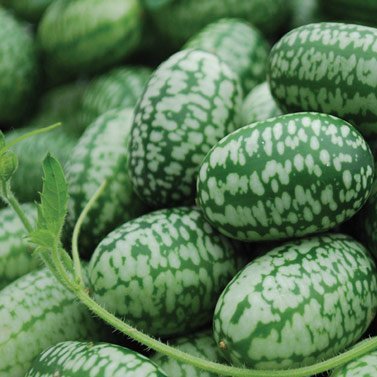 mexican-miniature-watermelon-15-seeds-melothria-scabra