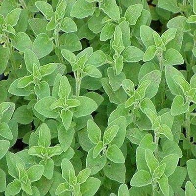 Cutdek Oregano Italian Herb Seeds (Origanum Vulgare) 800+Seeds : Garden & Outdoor