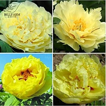 Amazon new heirloom peony yellow series 4 types flowers seeds new heirloom peony yellow series 4 types flowers seeds 5 seeds mix t1 mightylinksfo