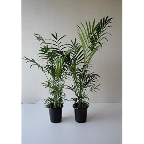 two tall parlor palms chamaedoria a foot tall in four inch pots with emeritus gardens organic plant food