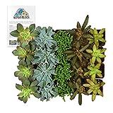 Altman Plants Assorted Live bulk Mini Succulents Collection Party favors, DIY terrariums, 2 Inch, 20 Pack