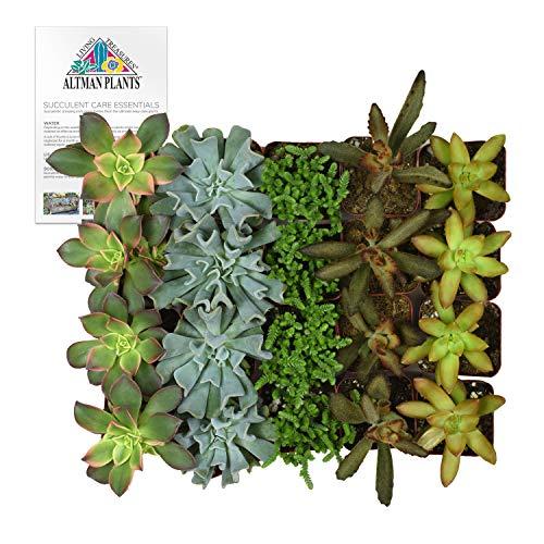 Altman Plants Assorted Live bulk Mini Succulents Collection Party favors, DIY terrariums, 2 Inch, 20 Pack by Altman Plants (Image #9)