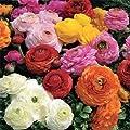 Persian Buttercup bulbs--Ranunculus Tecolote Mixture