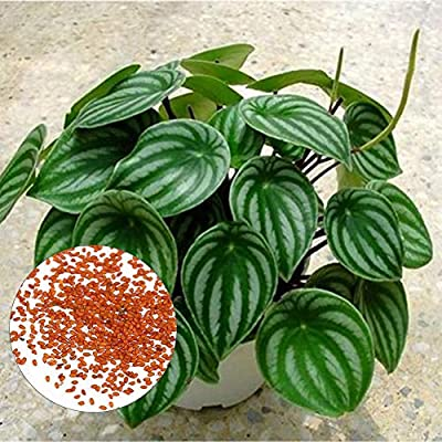 everd1487HH Flower Seeds, 50Pcs Rare Watermelon Peperomia Ornamental Plant Seeds, Desktop Potted Office Home Plant Planters Indoor Outdoor Decor - Watermelon Peperomia Seeds : Garden & Outdoor