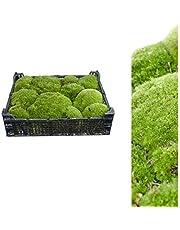 1 Valigia bollenmoos ca 2,00 - 2,50 kg Cuscino di muschio natura-verde