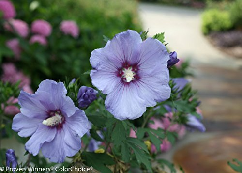 Azurri Blue Satin Rose of Sharon - Hibiscus - 4